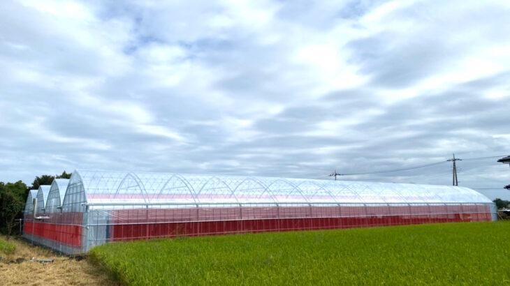 高設栽培システム定植日決定とイノチオストロベリーハイポについて
