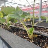 高設栽培の苗に新葉が出た件と、新規就農はいちごが儲かるからいいよ~(条件付きだけど)と言いたい件