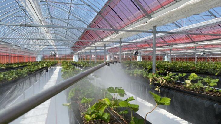 いちごの高設栽培施設の苗が活着して元気になった件と天敵バトル案件